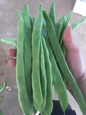 云南楚雄元谋县绿扁豆 10cm以上 2cm以上