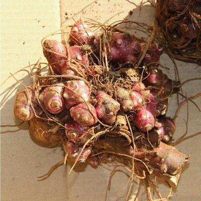 这是一张关于雪莲果种子种球 8两以上的产品图片