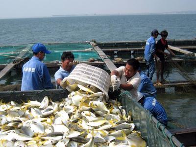广东深圳金鲳鱼 人工养殖 0.5公斤以下
