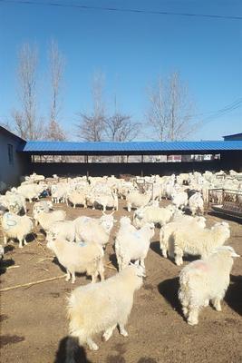 这是一张关于绒山羊 30-50斤的产品图片