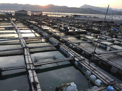 福建宁德大黄鱼 人工殖养 0.5龙8国际官网官方网站以下