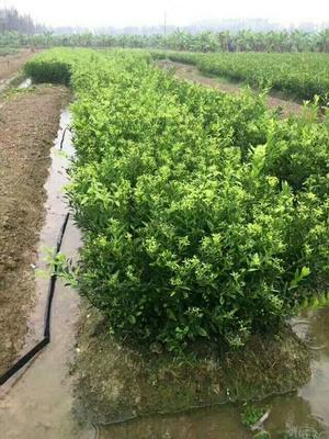 广西壮族自治区贵港市平南县柑树苗 0.5~1米