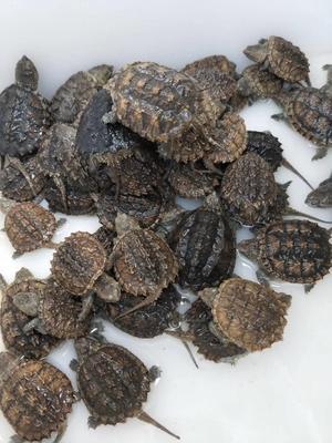 这是一张关于佛杂鳄龟 5-10cm 0.5斤以下的产品图片