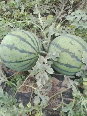 陕西渭南京欣西瓜 有籽 1茬 9成熟 8斤打底