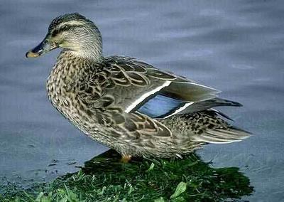 湖南郴州斑嘴鸭