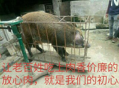 广西河池野杂猪 140斤以上 统货