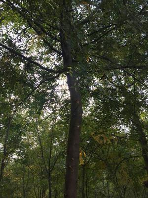 陕西咸阳三原县皂角树