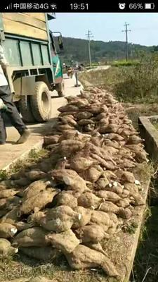 广西梧州粉葛 2.0-2.5斤