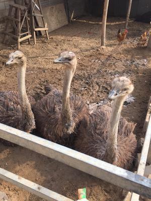 河南漯河非洲鸵鸟