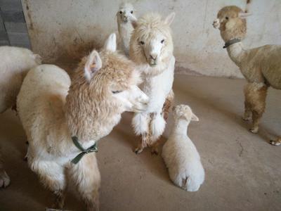 山东济宁苏利羊驼