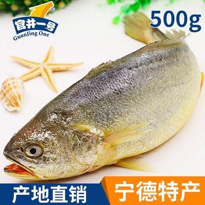 福建宁德蕉城区大黄鱼 人工殖养 0.5公斤以下