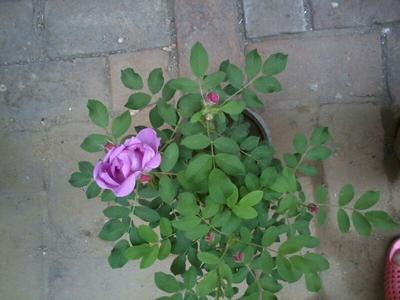 云南昆明红玫瑰
