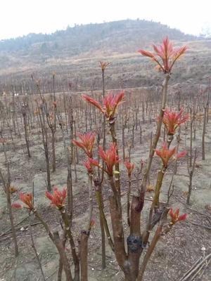 湖北宜昌红油香椿芽