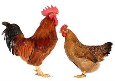 这是一张关于桂香土鸡苗的产品图片
