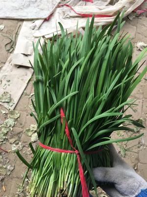 河南安阳大叶韭菜 二茬 35~40cm