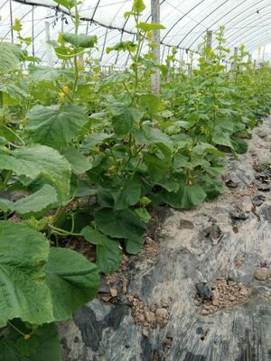 这是一张关于白沙密瓜 2斤以上的产品图片