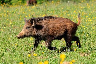 这是一张关于特种野猪 40-60斤 统货的产品图片