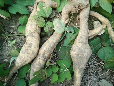 安徽淮北人工种植葛根 1.0-1.5斤