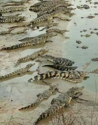 山西运城鳄鱼肉