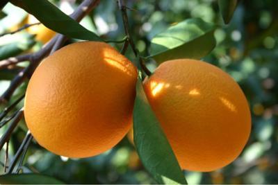 这是一张关于脐橙 65 - 70mm 4两以下 秭归脐橙的产品图片
