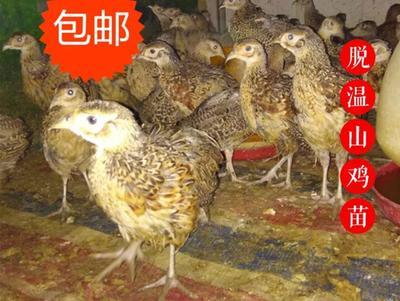 四川广安邻水县山鸡苗