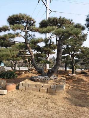 山东泰安泰山区造型松树