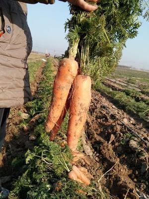 河北省保定市博野县长红胡萝卜 15cm以上 3两以上 3~4cm