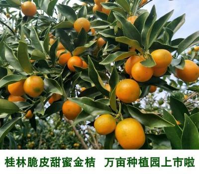 广西桂林脆皮金桔 2-3cm 1两以下