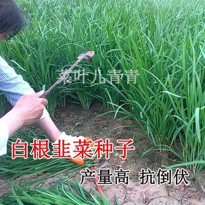 江苏宿迁沭阳县韭菜种子
