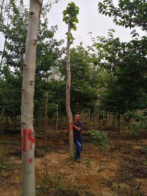广西北海楠白木
