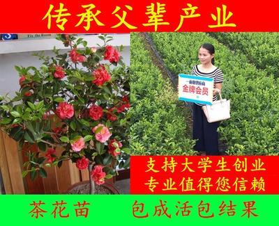 广西玉林茶花树 30~50cm