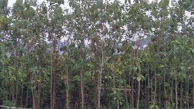 广西钦州缅甸柚木