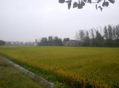 这是一张关于原阳大米 非有机大米 中稻 一等品的产品图片