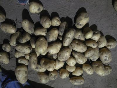 河北承德冀张226土豆 2两以上
