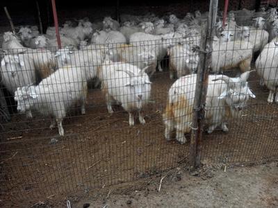 山西忻州绵羊 80-110斤