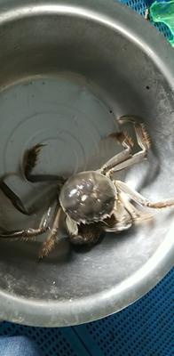 江苏泰州兴化市兴化螃蟹 2.5-3.0两 公蟹