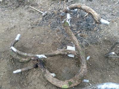湖北宜昌百年猕猴桃树桩