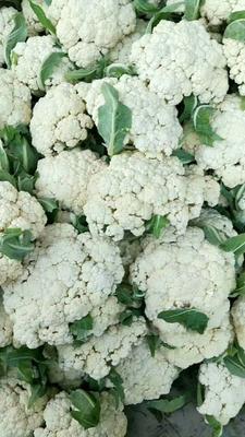 这是一张关于有机松花菜 适中 1~2斤 米黄的产品图片