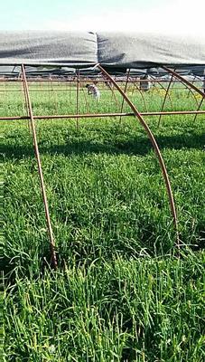 宁夏回族自治区中卫市沙坡头区紫根红韭菜 头茬 30~35cm