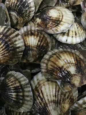 这是一张关于虾夷扇贝 野生 5-10只/龙8国际官网官方网站的产品图片