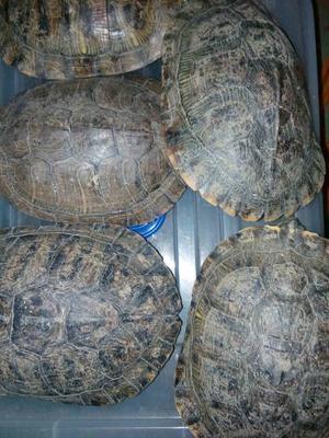 广东广州巴西龟 10-20cm 1-1.5斤