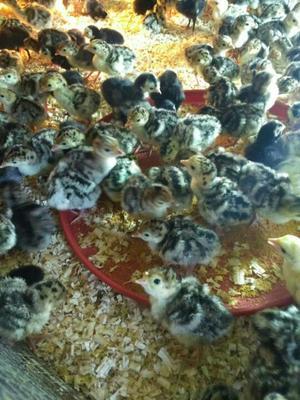 这是一张关于火鸡苗的产品图片