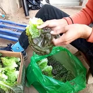 辽宁省沈阳市和平区紫叶生菜 1~2两