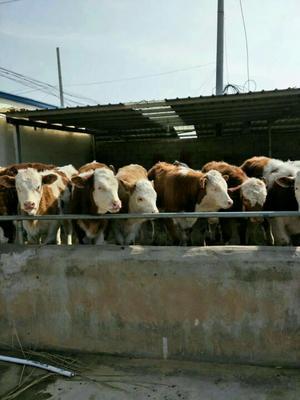 这是一张关于西门塔尔牛 400-600斤 统货的产品图片
