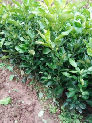 四川省达州市宣汉县柑树苗 0.5米以下