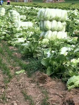 这是一张关于油绿三号大白菜 3~6斤 净菜的产品图片