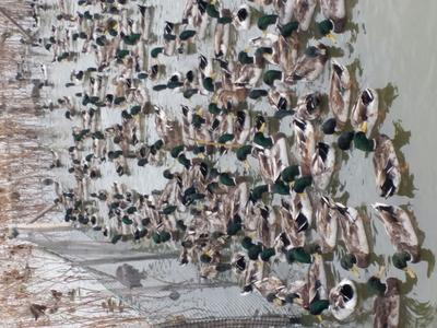 湖南岳阳绿头鸭