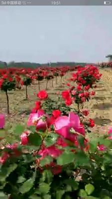 山东临沂四季玫瑰
