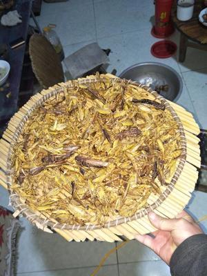 山东潍坊临朐县中国螳螂