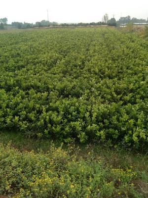 湖南常德澧县柑树苗 0.5米以下
